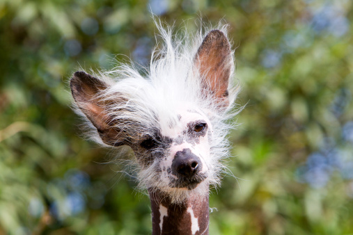 Tousled Hair「CHINESE CRESTED DOG (HAIRLESS)」:スマホ壁紙(6)