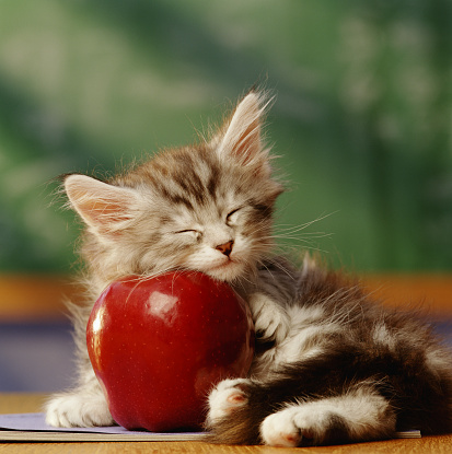 Kitten「KITTEN SLEEPING ON APPLE IN CLASSROOM」:スマホ壁紙(2)