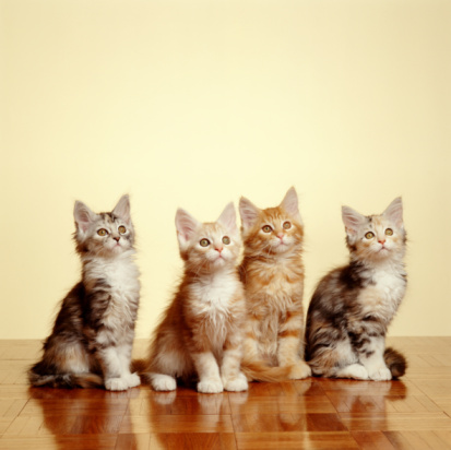 Purebred Cat「MAINE COON KITTENS」:スマホ壁紙(11)