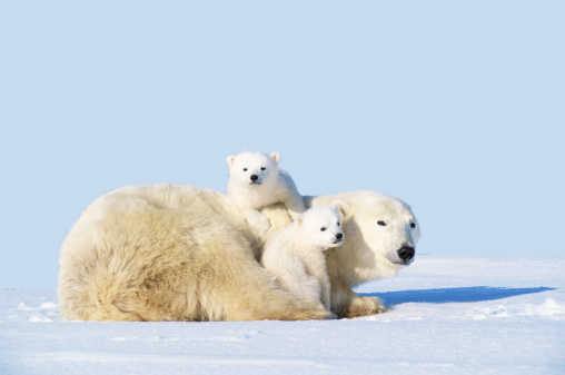 Polar Bear「MOTHER POLAR BEAR WITH CUBS, CANADA」:スマホ壁紙(3)