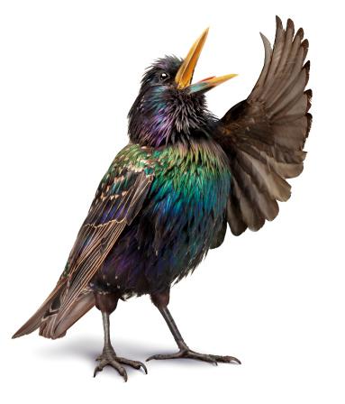 Bird「OPERA_BIRD_04」:スマホ壁紙(9)
