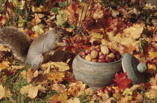 Eastern Gray Squirrel「23935460」:スマホ壁紙(12)
