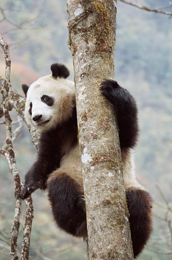 Bear Cub「PANDA CUB CLIMBING TREE, SICHUAN, CHINA」:スマホ壁紙(17)