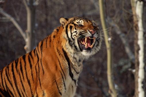 Siberian Tiger「SIBERIAN TIGER GROWLING」:スマホ壁紙(5)