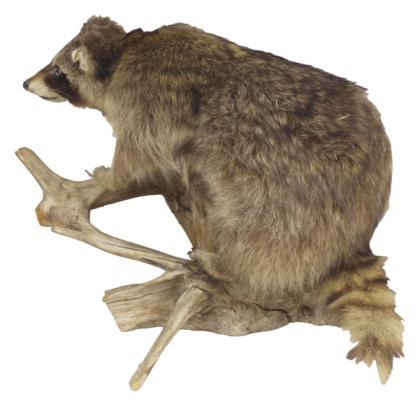 Raccoon「23569579」:スマホ壁紙(17)