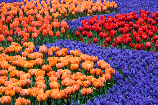 Keukenhof Gardens「KEUKENHOF GARDENS, NETHERLANDS: BED WITH TULIPS 'ORANGE PRINCESS', 'HERMITAGE', 'ARMA' AND 'PRINSES IRENE' WITH MUSCARI 'ARMENIACUM. SPRING」:スマホ壁紙(0)