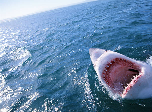 GREAT WHITE SHARK WITH MOUTH OPEN:スマホ壁紙(壁紙.com)