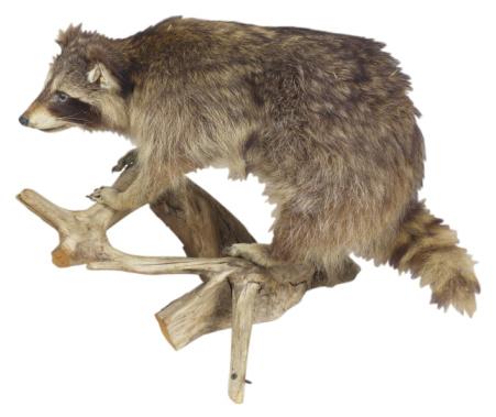 Raccoon「23569578」:スマホ壁紙(18)
