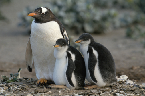 Falkland Islands「GENTOO PENGUIN WITH CHICKS ON THE FALKLAND ISLANDS」:スマホ壁紙(15)