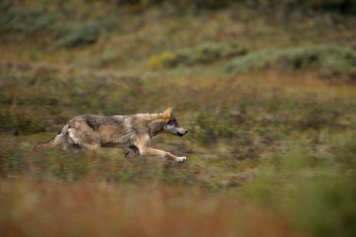 Animals Hunting「GRAY WOLF STALKING PREY, DENALI NATIONAL PARK, ALASKA」:スマホ壁紙(16)