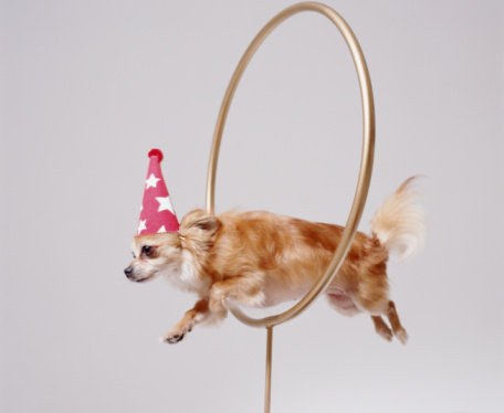 Domestic Animals「CHIHUAHUA THROUGH HOOP」:スマホ壁紙(0)