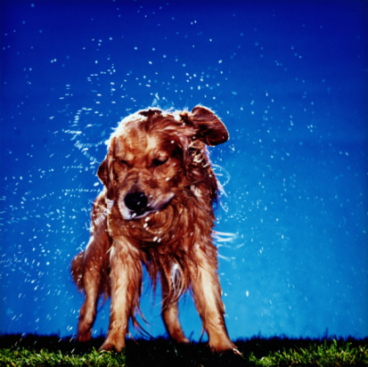 Shaking「GOLDEN RETRIEVER DOG SHAKING OFF WATER」:スマホ壁紙(0)