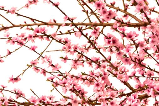 プラムの木「ピンクチェリー、スプリング時間の花の自然美」:スマホ壁紙(13)