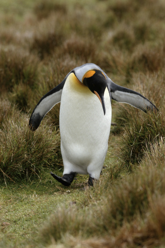 Falkland Islands「KING PENGUIN IN GRASS IN FALKLAND ISLANDS」:スマホ壁紙(12)