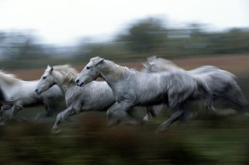 Horse「WILD HORSES (EQUUS CABALLUS), FRANCE」:スマホ壁紙(9)