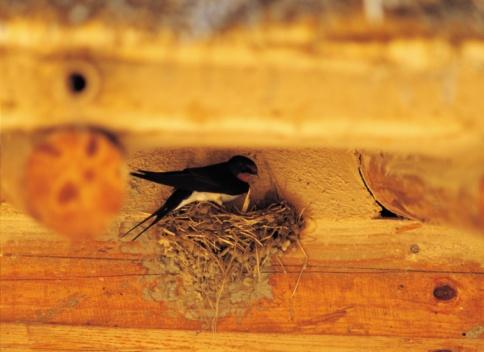 Barn Swallow「92814519」:スマホ壁紙(19)
