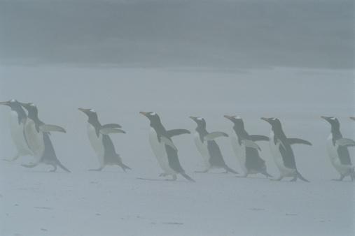 フォークランド諸島「GENTOO PENGUINS IN  FOG, FALKLAND ISLANDS」:スマホ壁紙(2)