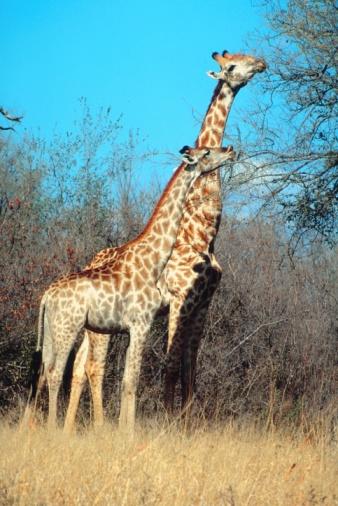 Giraffe「23891779」:スマホ壁紙(2)