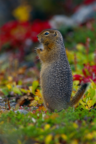 Squirrel「ARCTIC GROUND SQUIRREL IN TUNDRA IN AUTUMN. CITELLUS PARRYI. DENALI NP, ALASKA LIVES IN THE FAR NORTH INCLUDING THE TUNDRA..」:スマホ壁紙(6)