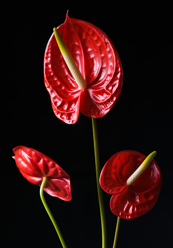 Anthurium「RED FLOWERS OF ANTHURIUM」:スマホ壁紙(5)