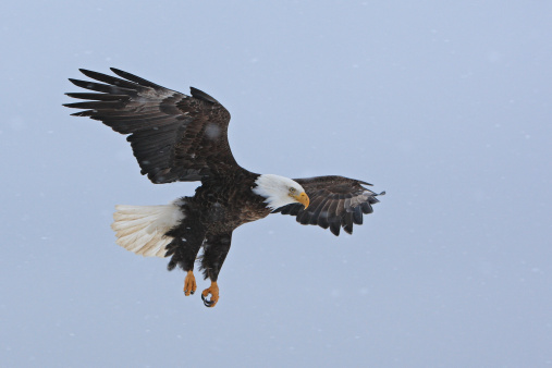 Animal Wing「BALD EAGLE」:スマホ壁紙(15)