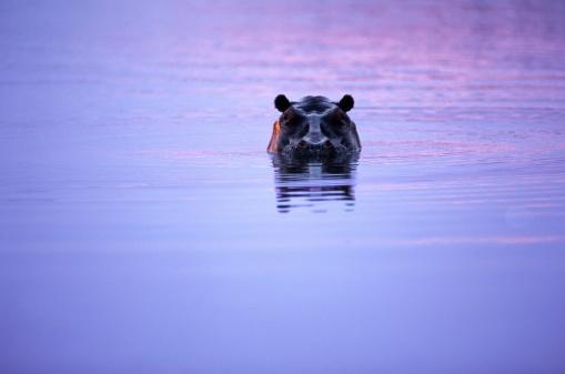 Hippopotamus「HALF SUBMERGED HIPPOPOTAMUS' HEAD」:スマホ壁紙(17)