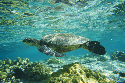 Green Turtle「GREEN SEA TURTLE ON THE KONA COAST IN  HAWAII」:スマホ壁紙(18)