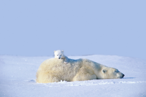 Bear Cub「MOTHER POLAR BEAR WITH CUB, LYING ON SNOW, MANITOBA, CANADA」:スマホ壁紙(13)