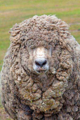 Falkland Islands「SHEEP」:スマホ壁紙(1)