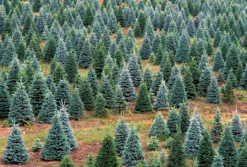 Grove「MICHIGAN. CHRISTMAS TREE FARM. BLUE SPRUCE. PICEA PUNGENS」:スマホ壁紙(5)