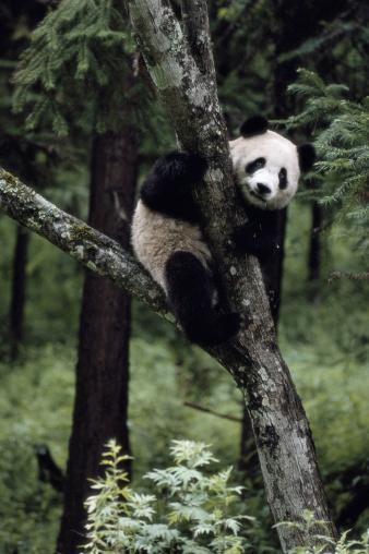 パンダ「GIANT PANDA AT WOLONG PANDA RESERVE IN CHINA」:スマホ壁紙(1)