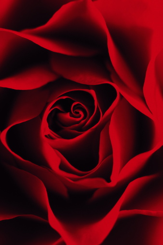 flower「RED ROSE IN DETAIL」:スマホ壁紙(1)