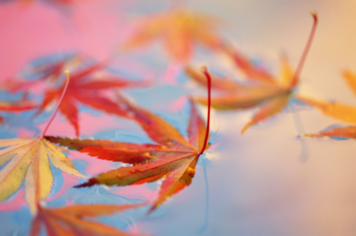 Japanese Maple「JAPANESE MAPLE LEAVES ON COLORFUL WATER」:スマホ壁紙(7)