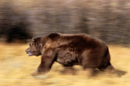 Endangered Species「BLUR IMAGE OF GRIZZLY BEAR RUNNING」:スマホ壁紙(15)