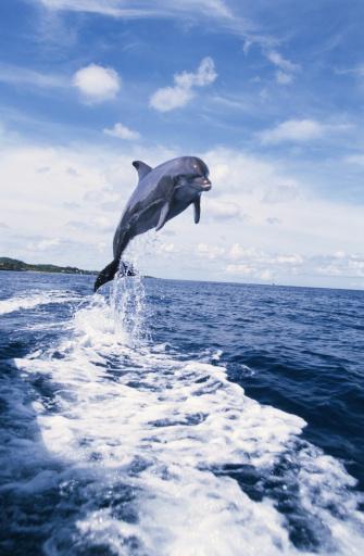 イルカ「BOTTLENOSE DOLPHIN JUMPING FROM WATER」:スマホ壁紙(18)