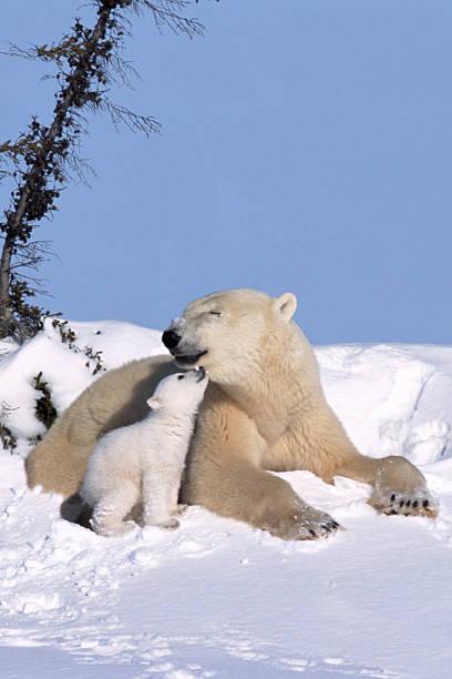 MOTHER POLAR BEAR WITH CUB, KISSING:スマホ壁紙(壁紙.com)