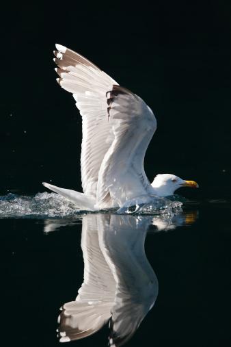 Herring Gull「HERRING GULL」:スマホ壁紙(19)