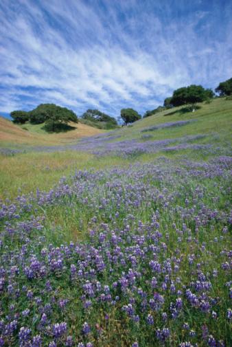 Salinas - California「LUPINE MEADOWS IN SPRING SALINAS, CALIFORNIA, USA」:スマホ壁紙(17)