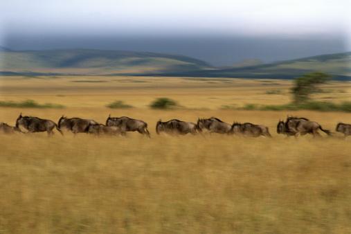 Large Group Of Animals「WILDEBEEST MIGRATION, KENYA」:スマホ壁紙(17)