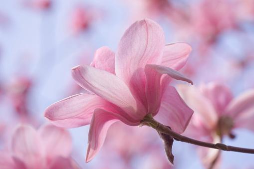 Himalayas「THE PINK FLOWERS OF MAGNOLIA CYLINDRICA X M CAMPBELLII DARJEELING. SPRING, RHS GARDEN, WISLEY」:スマホ壁紙(18)