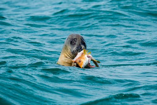 質感「GREY SEAL FEEDING ON A BALLAN WRASSE」:スマホ壁紙(6)