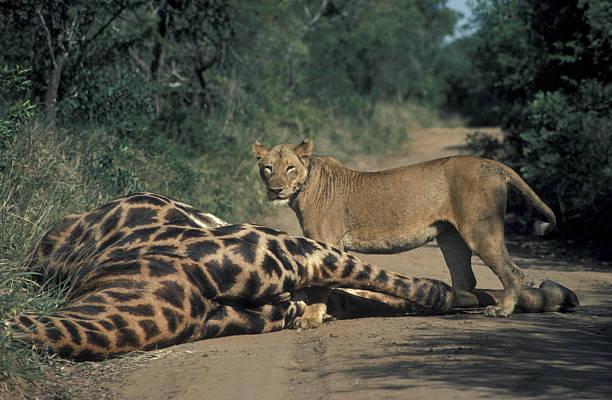 LION, PANTHERA LEO, AND DEAD GIRAFFE. AFRICA.:スマホ壁紙(壁紙.com)