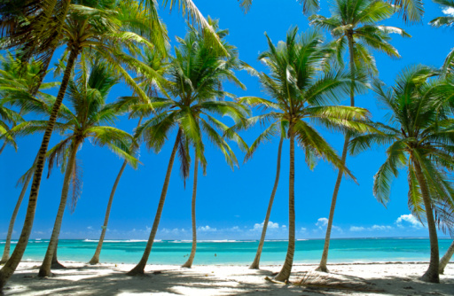 Fan Palm Tree「BEACH OF MICHEL BAY, MARTINIQUE, CARIBBEAN」:スマホ壁紙(13)