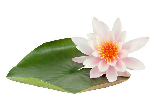 Pink Lotus flower:スマホ壁紙(壁紙.com)