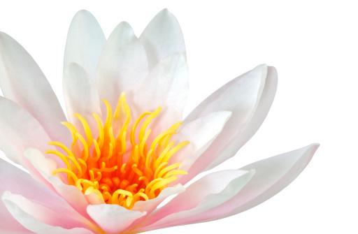 Water Lily「Pink Lotus flower」:スマホ壁紙(8)