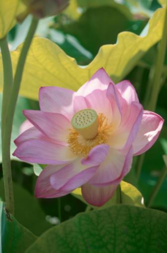 Lotus Water Lily「Pink lotus flower. Yamanashi Prefecture, Japan」:スマホ壁紙(4)