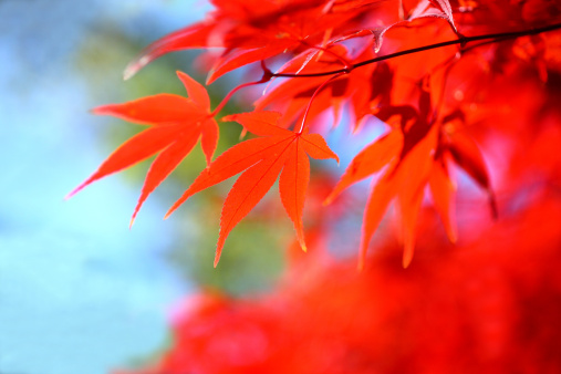 Japanese Maple「Red Japanese Maple Tree Leaves」:スマホ壁紙(5)