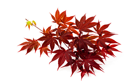Japanese Maple「Red Japanese Maple, Acer palmatum, twig and leaves」:スマホ壁紙(0)