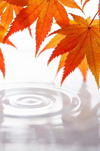 Japanese Maple「Red Japanese Maple Leaves and Water Drop」:スマホ壁紙(8)