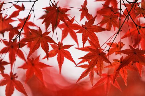 Japanese Maple「Red Japanese maple leaves」:スマホ壁紙(8)